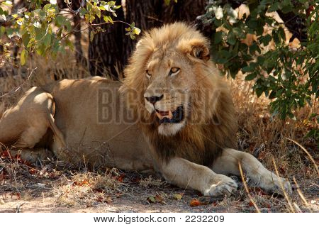 Close-Up Of A Young Male Lion; Panthera Leo