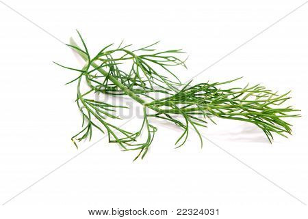 Fennel Branch Isolated