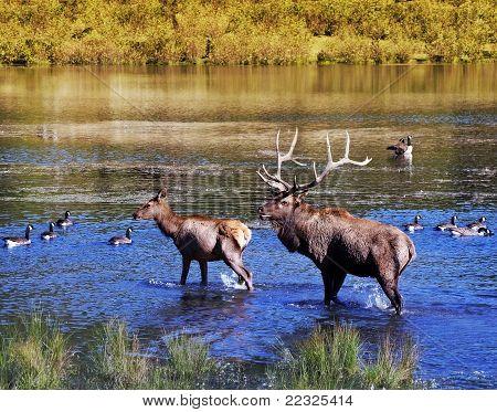 Elks In Water