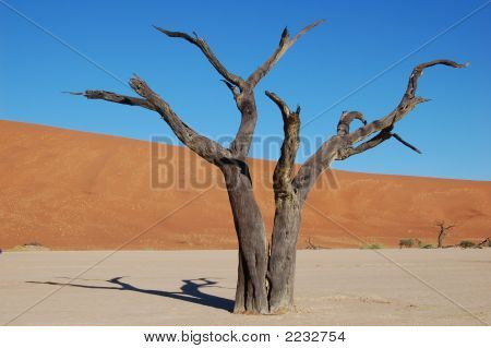 Dead Camelthorn Trees