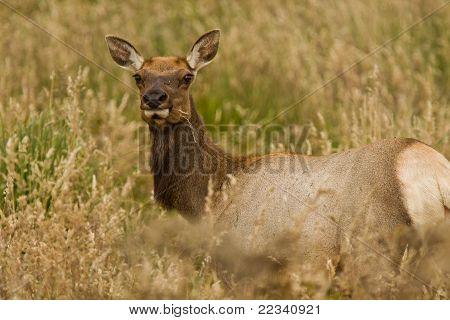 Young Tule Elk (Cervus canadensis)
