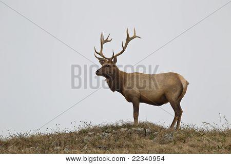 Tule Elk (Cervus canadensis)
