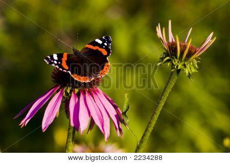 Dark Butterfly Fütterung auf Sonnenhut