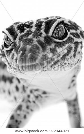 Gecko Close Up