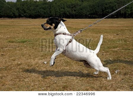 Small Dog Pulling On A Lead