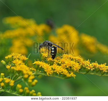 Black & White Wasp On Goldenrod