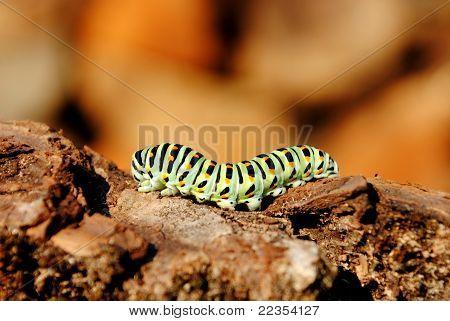 papilio machaon caterpillar stage
