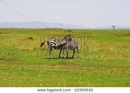 Zebra feeding calf