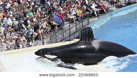 A Killer Whale Beaches Itself In An Oceanarium Show