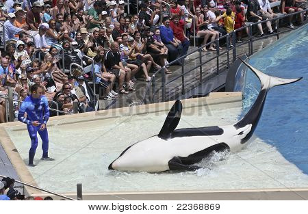 A Beached Killer Whale And Trainer Perform In An Oceanarium Show
