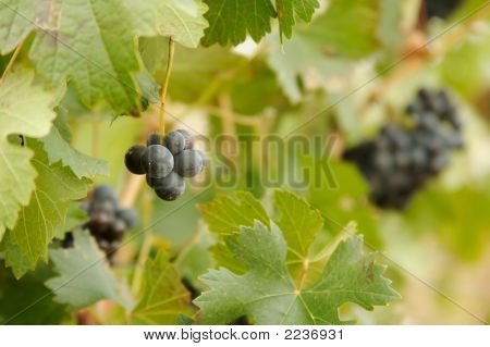 Beautiful Wine Grapes On The Vine