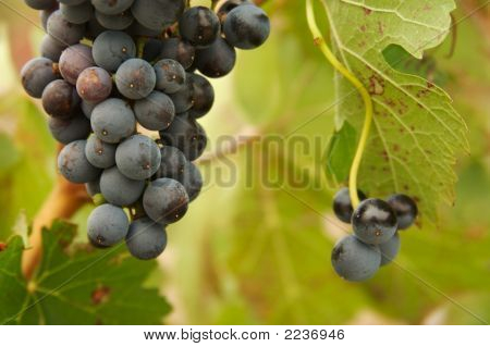 Agriculture, Bunch, Cluster, Colorful, Country, Crop, Eating, Food, Fresh, Fruit, Grapes, Grapevine,