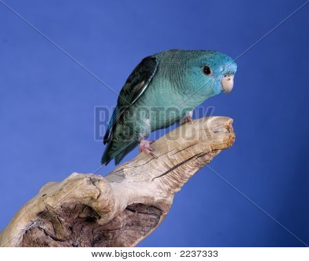 Lineolated Parakeet