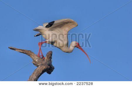 White Ibis Taking Flight