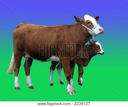 Simmintal Cow & Calf