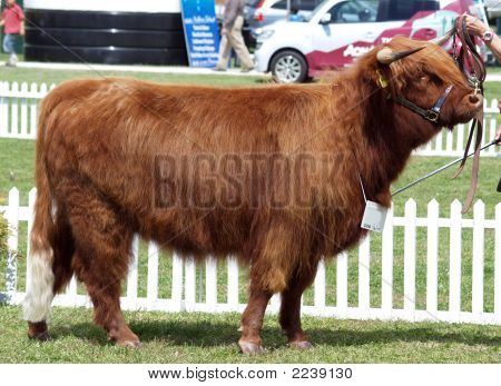 Red Highland Heifer