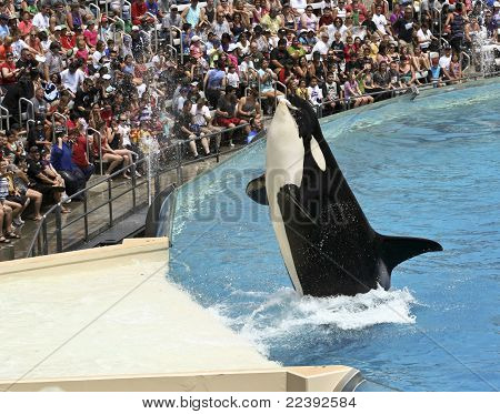 A Killer Whale Catches A Fish In An Oceanarium Show