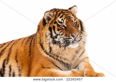 Tiger Isolated On The White Background