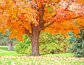 stock photo of fall leaves  - Beautiful Orange Fall Tree Lit Up by the Sun - JPG
