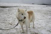 White Sledge Dog