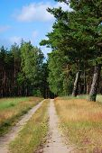 picture of dirt road  - Dirt road among fields planted with pines - JPG