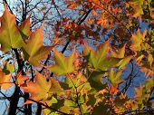 pic of maple tree  - back-lit sugar maple leaves (Acer saccharum) changing in October Eastern Pennsylvania. Selective Focus.