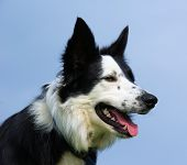 stock photo of border collie  - Jack the Border Collie enjoying a summer day - JPG