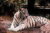 White tiger.White tiger lays in the zoo aviary.Siberian tiger, Amur tiger. poster