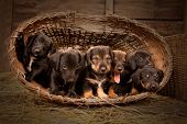 Six dachshund puppies purebred in basket. poster