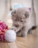 Cat Scottish Fold. Young Player In The Ball. Threaded Games. A Kitten Is Played With A Ball Of Threa poster