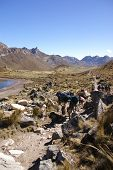 picture of workhorses  - Mule train carrying loads in a broad valley of the Cordillera HuayhuashAndes Peru South America  - JPG