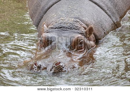 Hippo In River Water