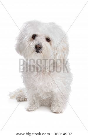 Perro boloñesa