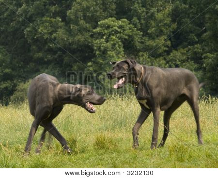 Pure Breed Grey Great Dane Bowing Before The King