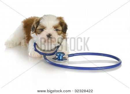 veterinary care - shih tzu with stethoscope around neck on white background