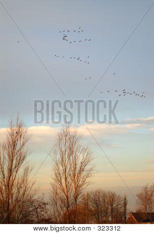 Migración de gansos