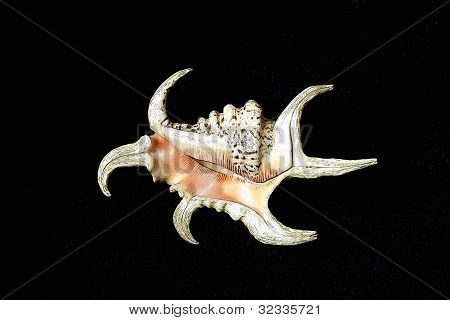 Spider Conch Isolated on Black