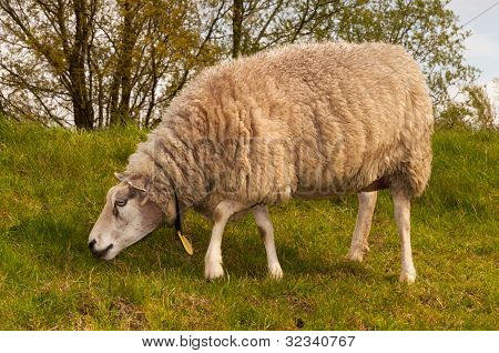 Closeup Of A Sheep In Winter Coat