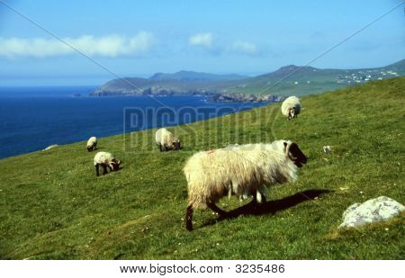 Sheep At Coastline