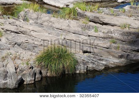 River Sedge