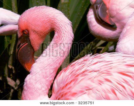 Pink Flamingo  San Diego Wild Animal Park