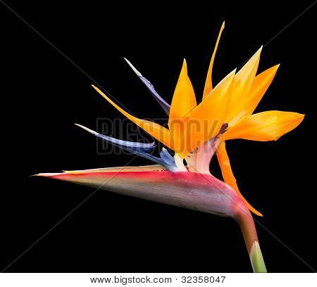 Isolated Shot Of Bird Of Paradise Flower Path