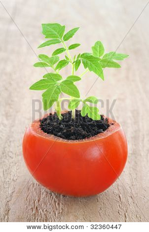 Young tomato plant, growing evolution concept