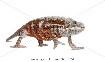 Chameleon Furcifer Pardalis - Masoala (4 Years)
