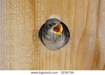 Hungry Baby Tree Swallow (Tachycineta Bicolor)