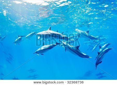 dolphins swimming underwater, tropical ocean