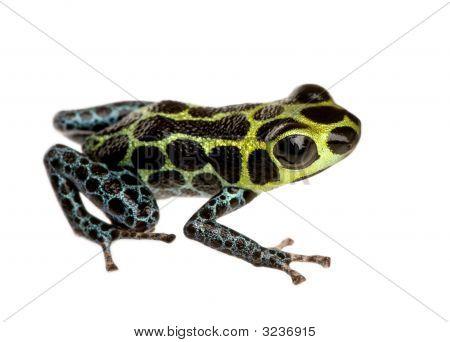 poster of Imitating Poison Frog - Ranitomeya Imitator