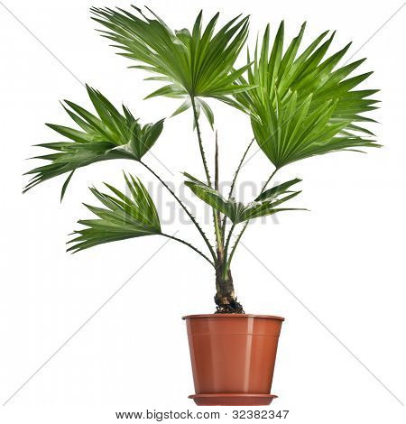 Livistona Rotundifolia palm tree in flowerpot  isolated on white