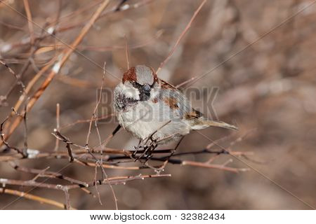 Sparrow On Bush Branches