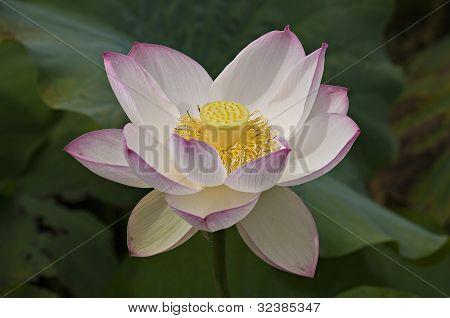 Beautiful Pink-white Waterlily.